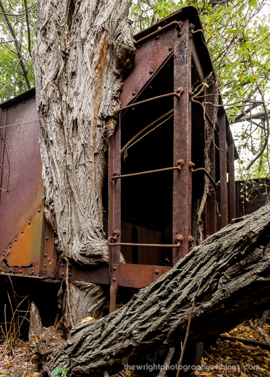 """Sixty years have passed since this empty narrow gauge hopper last moved. During that time, Mother Nature had begun its process of reclamation. Rails have sunk into the ground and many wheels of adjacent cars are slipping off said rails. Seen here is a tree I named """"Groot"""" that has intertwined itself in and around the walls, railings and steps of steel as it grew upward, not to be impeded."""